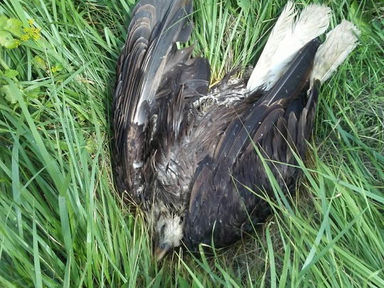 Day five: A bald eagle was found dead on east 124th