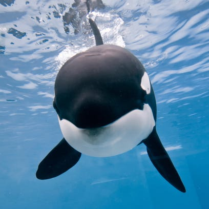 A 9-year-old orca named Kalia swims at the SeaWorld