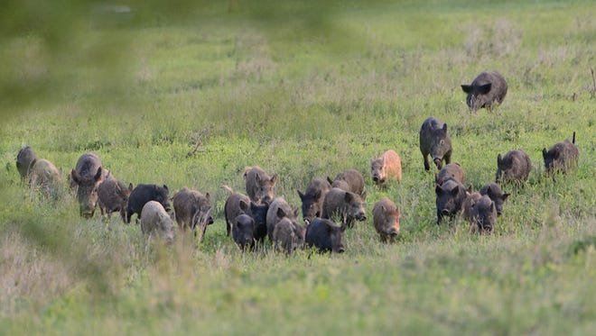 Feral hogs cost Texas farmers and ranchers millions of dollars annually in addition to property damage.