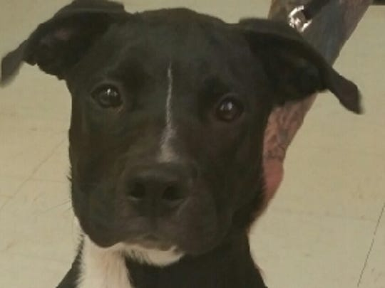 This 6 month old male black and white pit bull mix is named Buttons. Buttons was found in the 1300 block of Eight Street. His adoption fee is $177.53. For more information about adopting a Pet of the Week or other furry friends visit Alamogordo Animal Control, 2910 N. Florida Ave., Monday through Saturday between noon and 5 p.m. or contact them at 439-4330.
