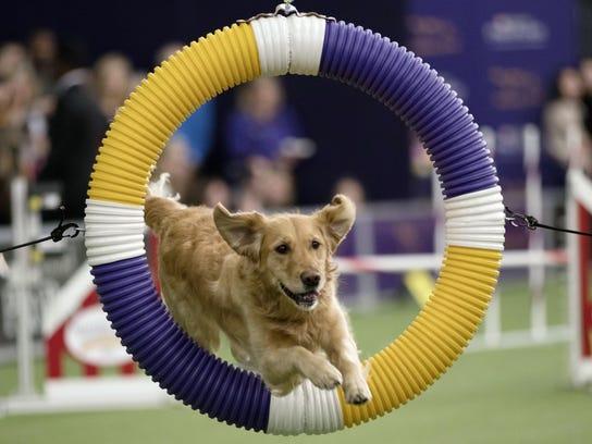 APTOPIX Westminster Dog Show Agility