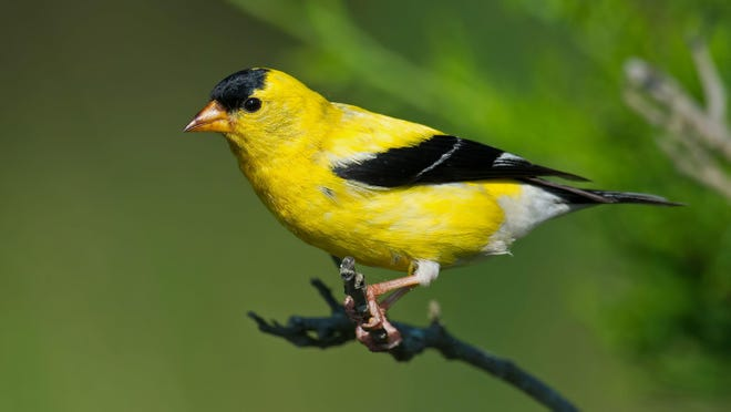 Goldfinches are our last birds to nest, and they're honeymooning at peak intensity through August.