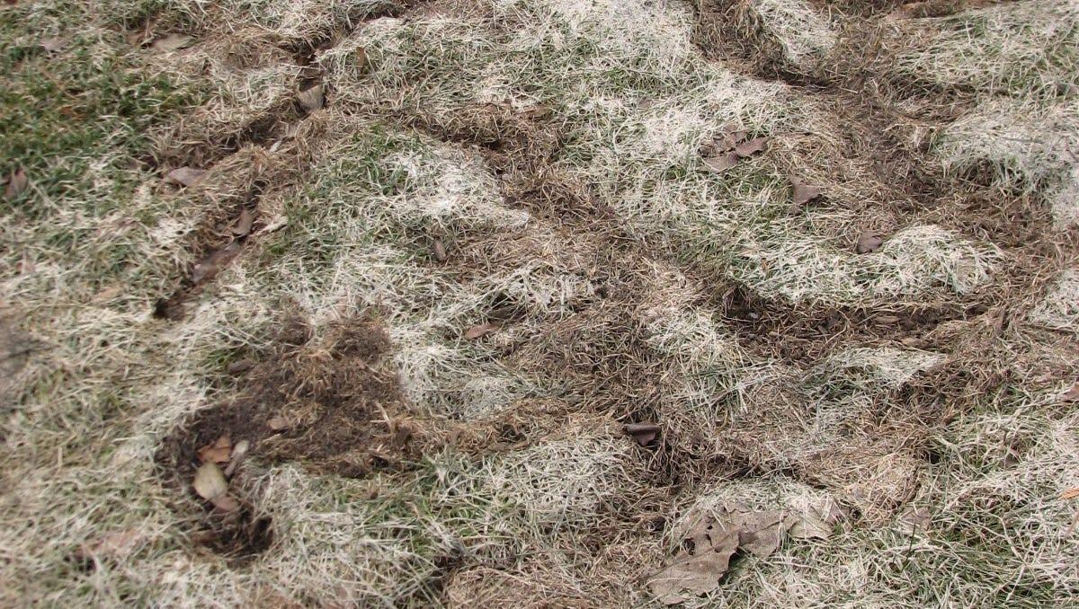 636143832027305355 11 14 2016 Vole damage lawn jpg?width=1200&height=678&fit=crop&format=pjpg&auto=webp.