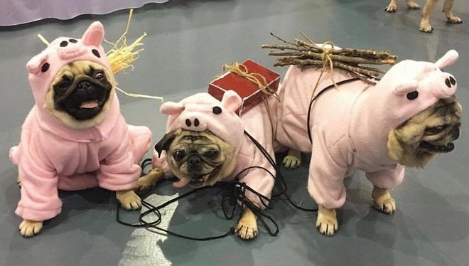 These pugs participated in the costume contest at last year's Milwaukee Pug Fest.