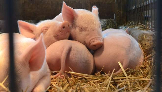 Animal nuisance legislation is intended to protect animal agriculture, which generates $38 billion annually in economic impact and provides 160,000 jobs in Iowa.