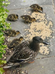 Ducklings feed on duckling starter food, courtesy of Canton library employees.