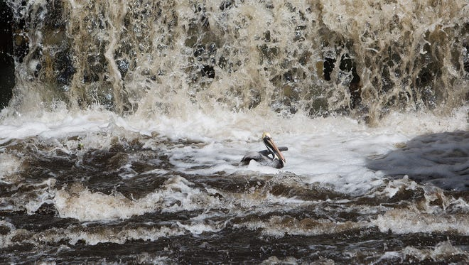 A brown pelican braves the water fall coming from Lake Okeechobee coming through a  water control structure at John Stretch Memorial Park.