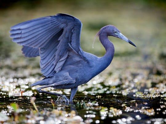 A little blue heron wades in the Wacissa River in Jefferson County.