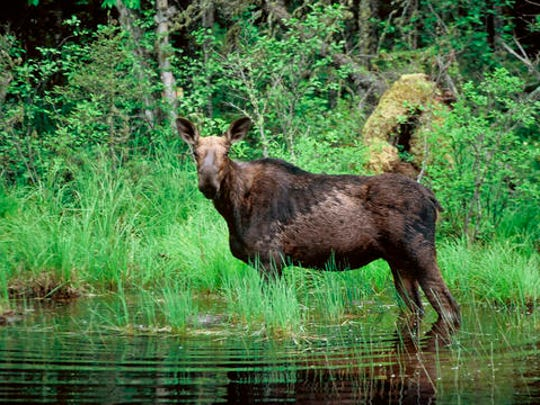 This undated file photo shows a moose wading in a small pond.