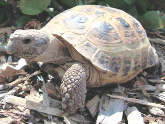 636361585147631901-Missing-tortoise.png