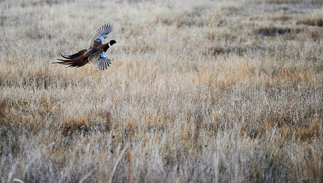 According to DNR wildlife biologist Tim Thompson, there are early signs that more birds survived this winter, and that a rise in pheasant numbers should follow the increase seen in 2014.