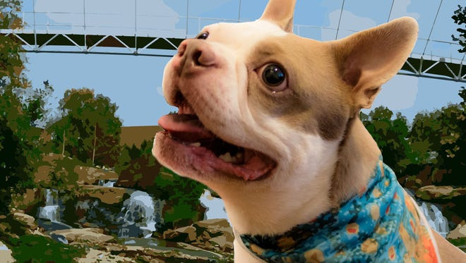 """Woof Threads """"founder"""" Brahj, a 3-year-old Boston terrier owned by Derek Riker, sports a bandanna from the brand."""