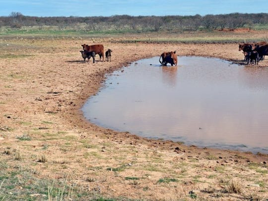 Times Record News file photo Cows and calves gather around a shrunken Clay County stock tank. Historic drought conditions from 2011-2015 made it difficult for many ranchers to maintain their herds.