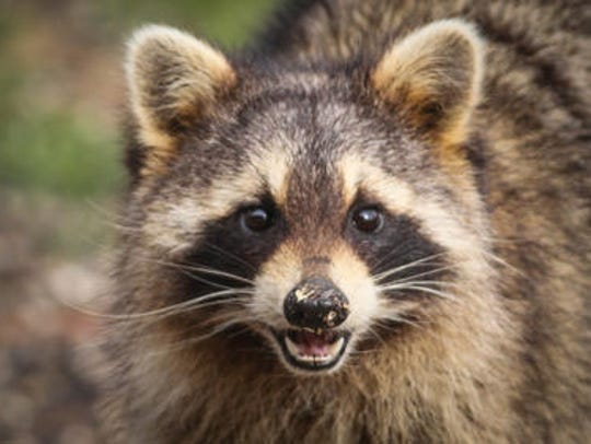 Officials are urging residents to avoid contact with wild and stray animals after a rabid raccoon recently attacked a person in Escambia County.