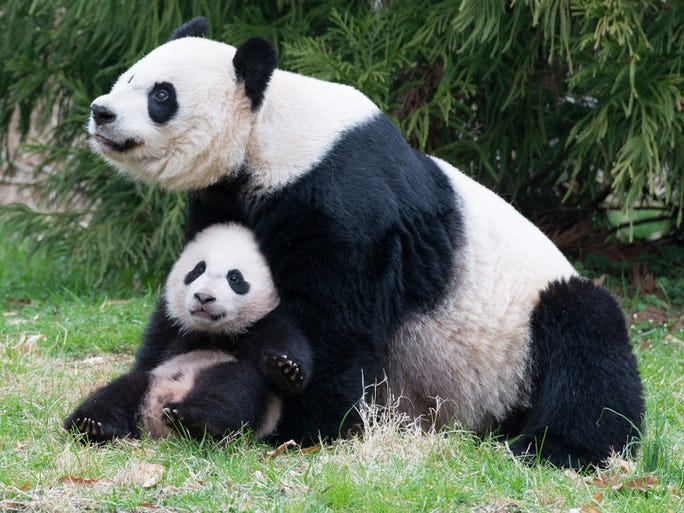 giant pandas in america Do you know where do pandas live the panda (ailuropoda melanoleuca) is also recognized as the giant panda and is endemic to north america and southern china.