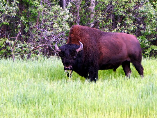 A wood bison munches a bit of highway grass.