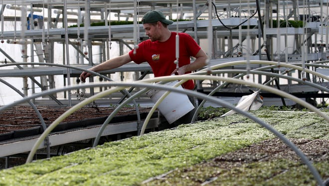 Drew Smith covers freshly sown micro greens with dirt  in a greenhouse at the Wegmans organic farm in Canandaigua in February.