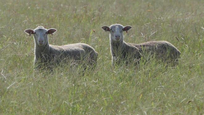 Lambs graze at Blazefork Farm in Inman.