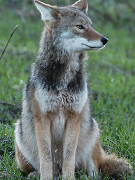 coyote sightings up locally. Black Bedroom Furniture Sets. Home Design Ideas