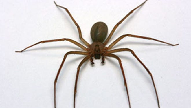 Brown recluse spiders don't want to bite people and can't unless somehow they're trapped against a person's skin, according to the Centers for Disease Control and Prevention.