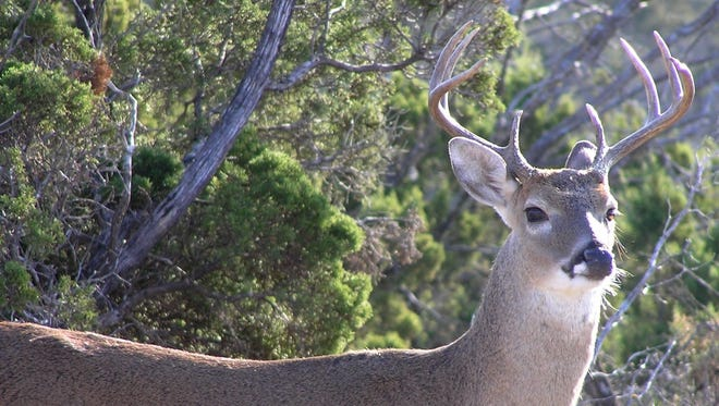 The quality of this year's white-tail deer crop is expected to be good because of good rain and browse availability.