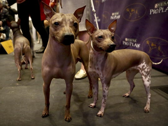Candy, 2, left, Rodney, 7, center, and Johnny, 2, three American Hairless Terrier breeds owned by Virginia's Sue Medhurst.