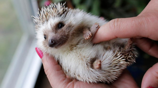 Hedgehog breeder and trainer Jennifer Crespo, of Gardner, Mass., holds a pet hedgehog at her home in Gardner, Mass. Hedgehogs are steadily growing in popularity across the United States, despite laws in at least six states banning or restricting them as pets.