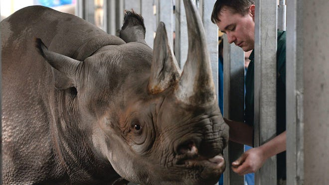 """Zookeeper Pat Fountain checks on and takes care of Black Rhino """"Doppsee"""" in her very warm and humid indoor area at Lansing's Potter Park Zoo in February of 2015. While some animals at the zoo can handle the extreme winter cold, many like the rhinos are kept inside and warm until temperatures outside are much warmer. Ice and slippery snow are a particular danger for many of the African animals, said zoo General Curator Cindy Wagner. Many of the animals that stay outdoors are given extra bedding and food, shelter areas and heaters and heated mats, said Wagner. Even the Magellanic penguins, native to South America, are kept indoors for the winter."""