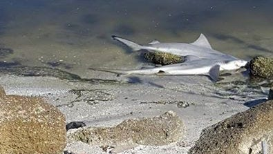 The dead sharks left at a Titusville park.