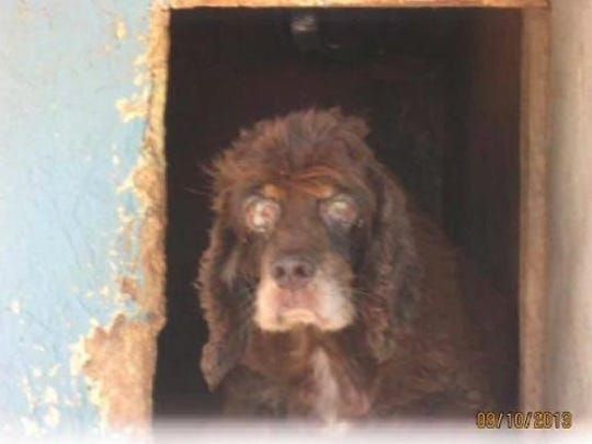 In this U.S. Department of Agriculture photo, a female Cocker spaniel shows watery matter around her eyes. The photo was taken at the breeding operation of Shirley Machin in Oklahoma. The Pet Zone, a chain with a store in the Town of Poughkeepsie, purchased one puppy from the breeder, where dogs were found infested with ticks and ears bloody from insect bites, according to USDA documents.
