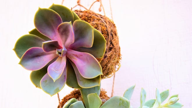 A new trend in the indoor plant world takes its cue from a historic form of bonsai, Kokedama.