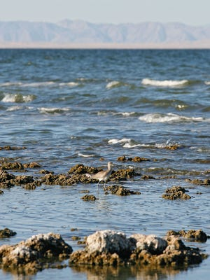 Jay Calderon/The Desert Sun The Salton Sea has been shrinking for years, and that decline is expected to accelerate after 2017, when flows of water will diminish under the 2003 deal known as Quantification Settlement. A bird feeds along the southeastern shore of the Salton Sea.