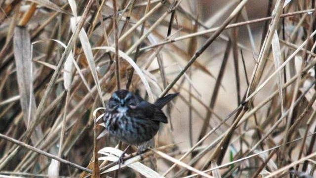 A sparrow (above) sits in reed canary grass at Willamette Mission State Park.