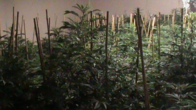 Marijuana plants recoverd in Lee.