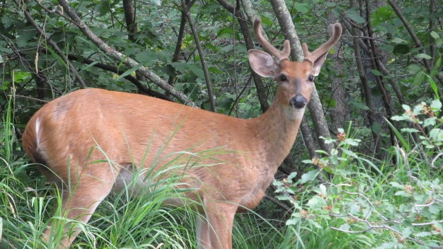 Toni Sanford and her husband, Mike, were kayaking up the Eau Claire River when Mike spotted a deer laying on the bank of the river. As they came closer, the deer stood up and gave them a perfect shot.
