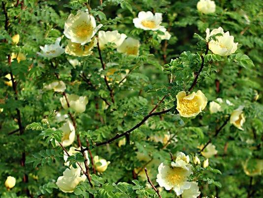 Father Hugo's rose