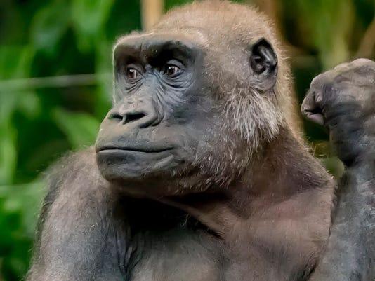 milwaukee county zoo gorilla naku dies