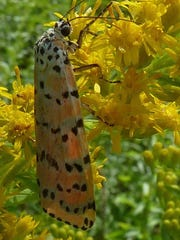 Giant leopard moth on goldenrod.