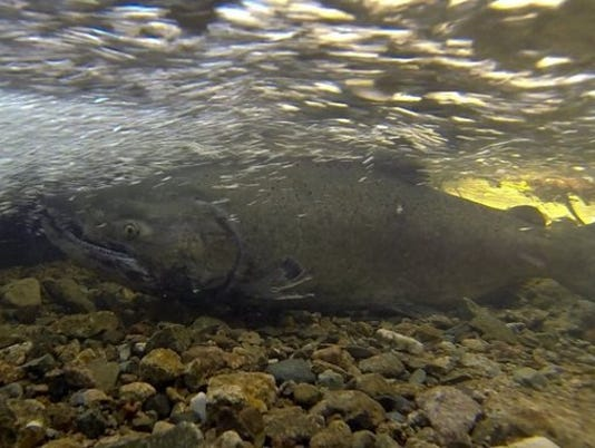 chinook salmon.jpg