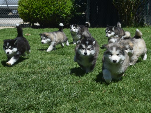 22 rescued alaskan malamutes up for adoption in simi