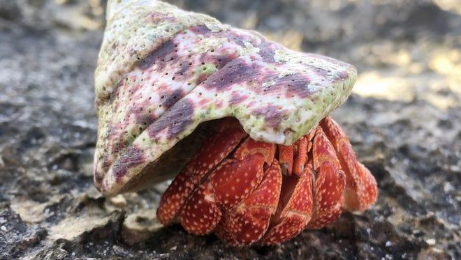 A hermit crab near Togcha Cemetery.