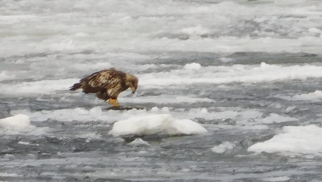 A juvenile bald eagle eyes a hole in the ice at Malletts Bay in Colchester on Saturday, Dec. 23, 2017. Local resident Tim Loisel, the photographer, said the bird snagged a fish soon after this picture was taken.