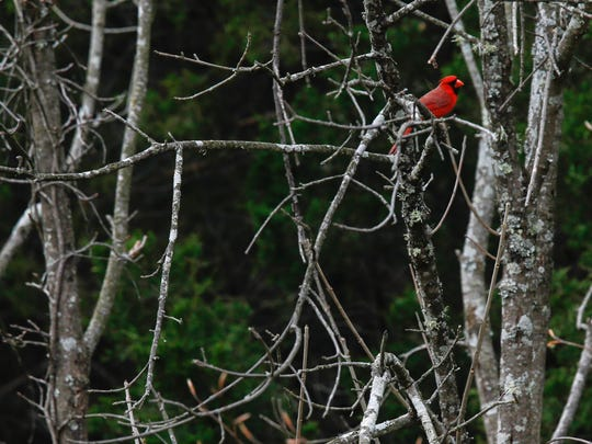 A cardinal sits in contrast to the gray and dark tones near the edge of a forest in Turkey Run Park at The Parklands on Tuesday morning. April 19, 2016