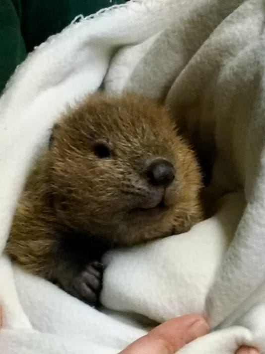 Baby Beaver - by Mitch Russell.jpg