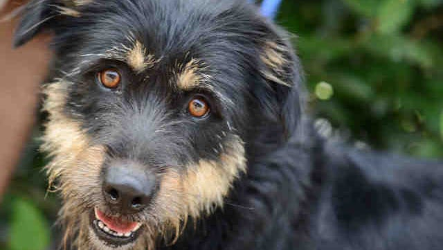 Layla is a spayed, female Welsh terrier and rottweiler mix, ID A144325.