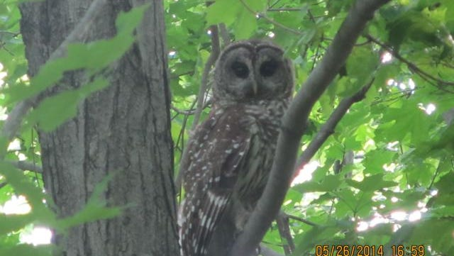Frank Poplees submitted this photo of a barred owl taken in his backyard recently.