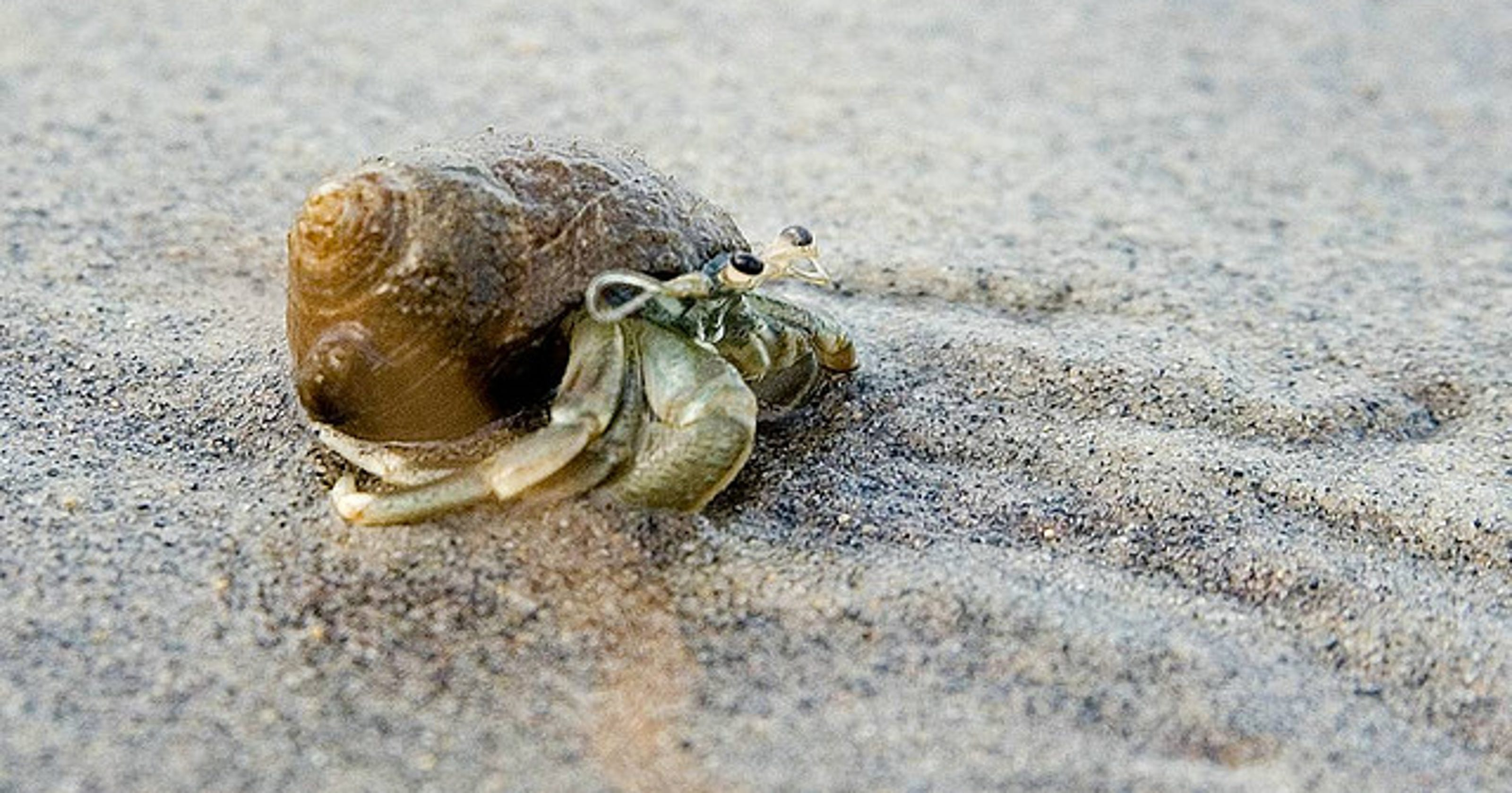 creatures hermit crabs not coming out of their shells