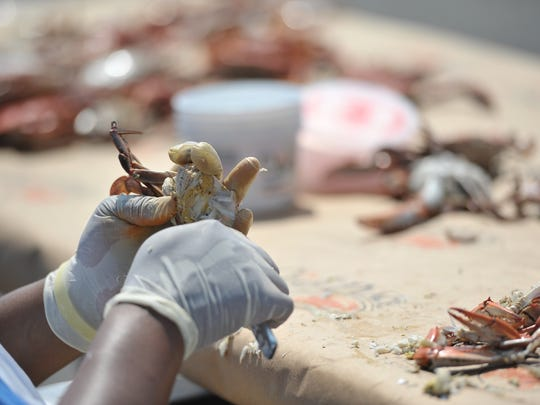 Some crab picking operations are only operating a few days a week because of the lack of workers.