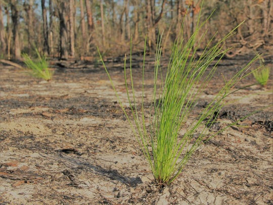 Boy Scouts planted 500 longleaf pine trees as part