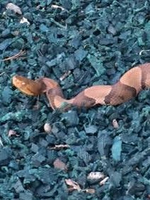 The copperhead snake spotted by Clarkstown police on Tuesday.